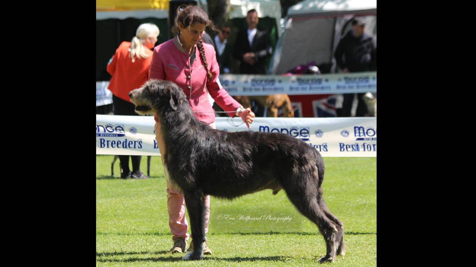 2017 Best Dog At Italian Springtime Club Show Padenghe S G It Judge Mrs Jamie Souza Bartlett Us